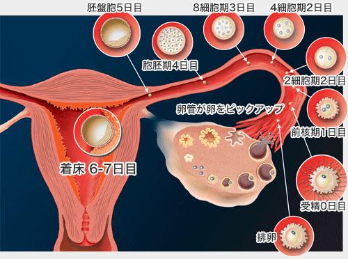 排卵した卵子の受精着床の流れ